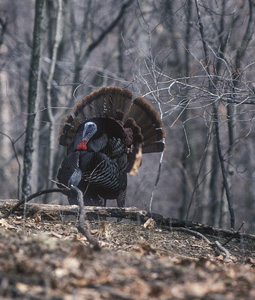 Experts are predicting a banner year for New York's spring turkey hunters. These top-rated public hunting areas are sure to offer exciting action in 2008.(February 2008).