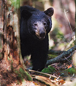 These tried-and-true hotspots will put you in range of a trophy Empire State black bear if you do your homework and are willing to do some hiking! (October 2009)