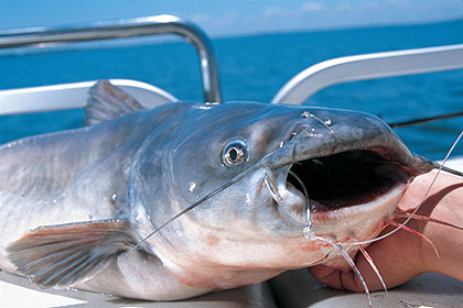With the inclusion of the formerly protected blue catfish on anglers' menus in 2009, catfish in the 100-pound class are possible. Here's where to find that lunker of a lifetime this summer (June 2009)
