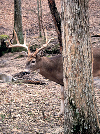 State biologists expect another record-setting deer season in 2006. Here's where bowhunters can get a jump on the action on public lands statewide. (August 2006)