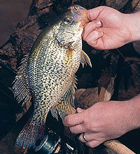 One huge reason for the popularity of crappie with Oklahoma anglers is that the panfish are so much fun to catch. Plenty of fun awaits you at these prime spots across our state this month. (February 2006)