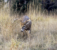 Tagging a Sooner deer (or two) gets easier every year, it seems -- but some spots will still produce more venison than will others. Here's a closeup on our state's most promising locales for autumn action. (October 2008)