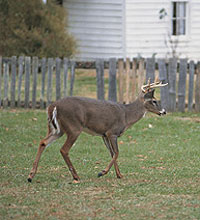 The deer living practically within the city limits of some of Oklahoma's biggest municipalities may be the perfect candidates for a late-season bowhunt. (December 2005)