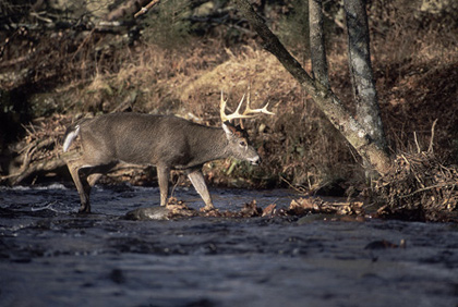 Pennsylvania's new antler restrictions are starting to show dividends for patient hunters who can wait for a trophy buck to pass by. Here's how things are shaping up for the 2007 season near you. (November 2007)