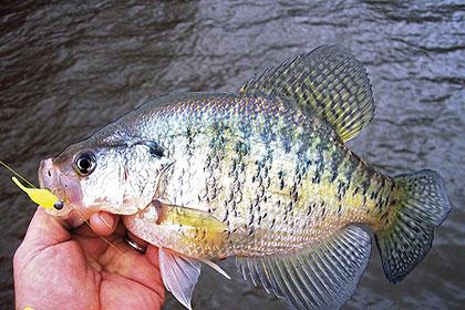 12 CRAPPIE PAN-FISH PERCH BLUEGILL CALICO BASS RIGS FISHING BAIT RIG JIG SZ 6