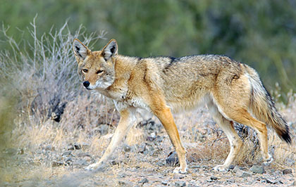 Shotguns Your Top Firearm Choice For Desert Coyotes