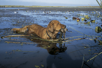 Are You Ready For A Hunting Dog?