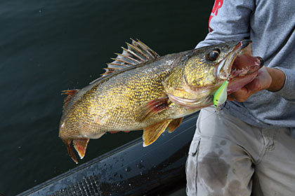 These tactics are sure to improve your catch of fall walleyes, no matter where you fish for them.