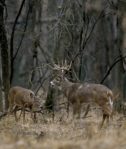 hunting the rut, whitetail rut, rut hunting, whitetail deer, whitetail buck and doe
