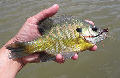Top tactics for using live bait for bream game fish for Bream fishing bait