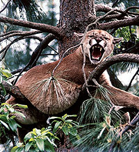 If hunting along the West Slope was good enough for a Rough Rider like Teddy Roosevelt, it will be good enough for you too. Mountain lion hunting has seldom been better than it is today. (January 2006)