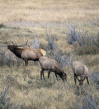 Despite having 45 elk herds roaming the Centennial State, it's easy to zero in on the Gunnison region, where elk are plentiful and hard hunting is often rewarded with a Western-sized hat rack.
