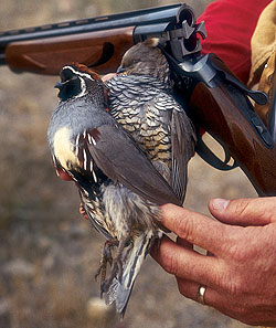 Put yourself on the right ground to bag Gambel's, scaled and Mearns' quail right now!  (December 2009)