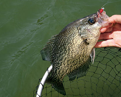 A large part of the population of South Carolina lives in or close to our larger cities. The good news for these folks is that most are near some excellent crappie fishing. (April 2009)