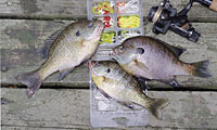 Late Spring means bream fishing at its best in South Carolina. (May 2006)