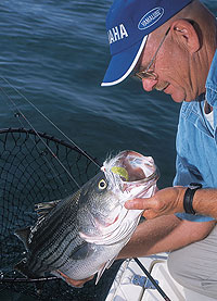 May is a major transition month for striped bass on the Santee Cooper lakes. Here's what you need to know to keep up with the fish. (May 2010)
