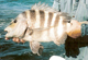 Sheepshead are considered the panfish of inshore saltwater angling -- but with tactics from these pros, you're going to need a bigger pan. (July 2007)