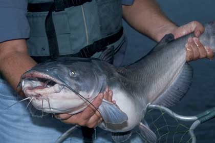 Catch Carolina's Backwater Catfish Now