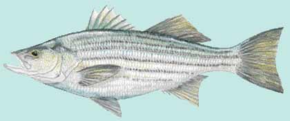 striped bass poachers