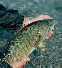 Tennessee's 2006 Smallmouth Bass Forecast