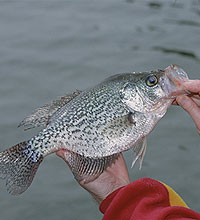 Tennessee's 2006 Crappie Forecast