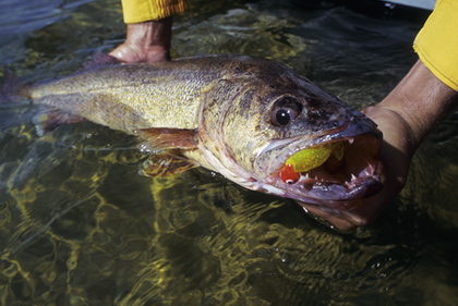 Only a select few understand how good Tennessee walleye and sauger fishing can be. Read on to find out what these anglers know. (March 2008).