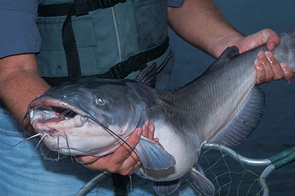 Tennessee's Top Catfish Angling