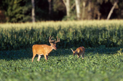 For many Tennessee deer hunters, the state's draw hunts offer a great chance for a deer. Here's how to make the most of your public-land opportunities. (July 2006)
