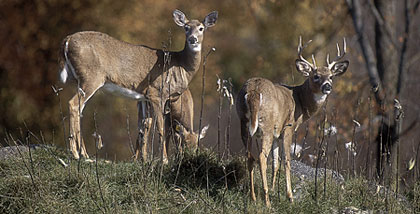 While a disease outbreak struck Tennessee's deer herd last year, the deer this year should be healthy. Here are some top places in the state to find venison. (OCtober 2008)