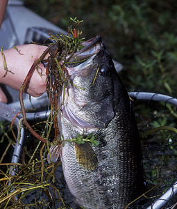 "While there's no such thing as a ""bad"" option when it comes to Texas bass fishing, these lakes should rank a cut above the rest for producing largemouths this year.   (March 2008)."