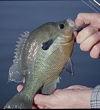 Virginia's Best Bream Fishing