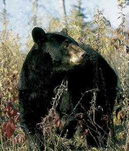 As the number of bears in Virginia swells, so do the number of encounters sportsmen have with them. This may well be a banner year for bruin hunters in Virginia. (November 2007)