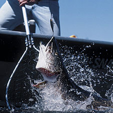 "From ice-out until deer season, you can catch big northerns in our state. We've saved you some ""recon"" time by telling you where to launch your attack this year. (March 2006)"