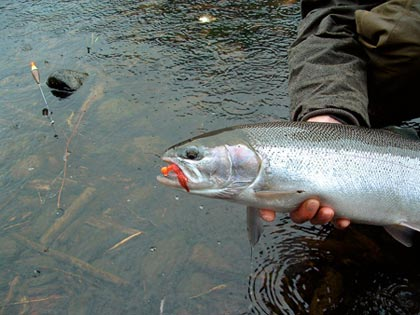 "The Sol Duc, ""the Bogy"" and Calawah rivers flow so close to each other than if steelhead action isn't epic on one, there are two more top rivers nearby. And February is the best time of year to find big steelies here. (February 2007)"