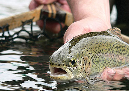 Rainbows, brookies and browns are kicking their feeding habits into high gear on Elkhorn Creek, Dry Fork and the Williams River. (May 2009)