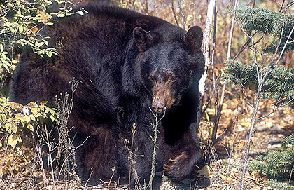 More On Our State's Record Bear Season