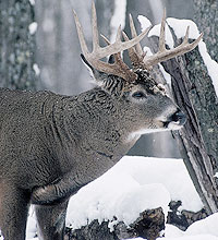 This old-time method of hunting is an important modern-day management tool for keeping deer numbers in check. For most hunters, it's just another way to add fresh venison to the family freezer. (December 2005)