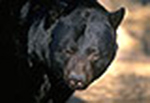 oh_blackbear022511pl