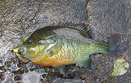 Redbreasts are fiesty and colorful bream that favor streams over lakes and ponds. Photo by Polly Dean.
