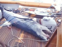 The 12-foot, 1,006 pound mako took up a large part of the deck!