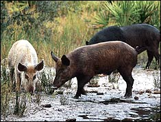 Wherever hogs turn up in Florida, expect them to have water close at hand. Photo by John Carter