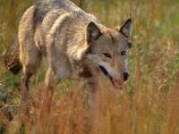 GFwolf_080911_386