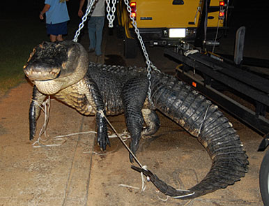 Keith Fancher's gator stretched the scales at 838 pounds!