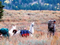 Matt Christensen is shown using llamas to pack out of the Colorado high country. Photo by ChucknGaleRobbins.com.