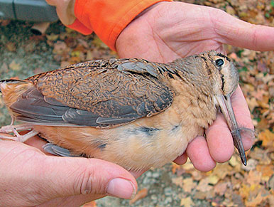 A woodcock in the hand after a short hunt in local covers. Photo by Brad Eden.