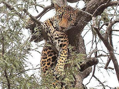 Arizona Mountain Lion Hunt Turns Into Dangerous Jaguar Encounter