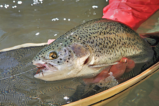 The whipping was undeniable. It seemed my fly-rod-wielding buddy was engaged with another trout