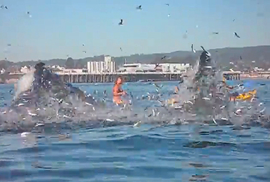 California Surfer Nearly Swallowed By Whale