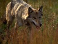GFwolf_110211A