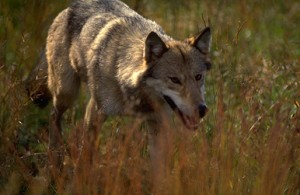 wolf hunting, wolf hunt, hunting wolves, montana wolf